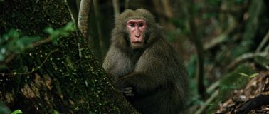 Monkey Japanese macaque stock image