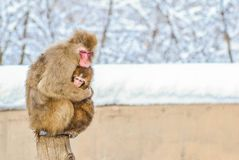 Monkey Japanese  on  snow Royalty Free Stock Photo