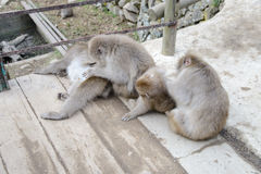 Monkey in Jigokudani Monkey Park  or Snow Monkey Royalty Free Stock Image
