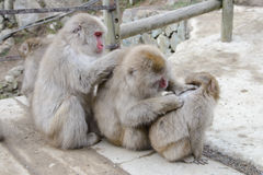 Monkey in Jigokudani Monkey Park  or Snow Monkey Royalty Free Stock Photography