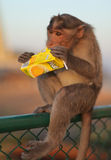 Monkey juice. MYSORE – JANUARY 29 : Monkey licking a discarded juice container in Mysore, India. Humans generate an estimate of 4-5 bilion tons of garbage Stock Images