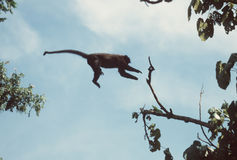 Monkey jumping. Mangabey jumping across forest gap royalty free stock photography