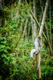 Monkey in jungle. A big monkey resting on bamboo Stock Photos