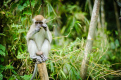 Monkey in jungle. A big monkey resting on bamboo Royalty Free Stock Photos