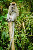 Monkey in jungle. A big monkey resting on bamboo Stock Photography