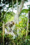 Monkey in jungle. A big monkey resting on bamboo Royalty Free Stock Images
