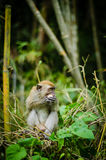 Monkey in jungle. A big monkey resting on bamboo Royalty Free Stock Photography