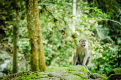 Monkey in jungle. A big monkey resting on rock Stock Images
