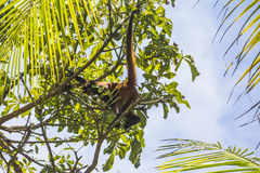 Monkey in jungle of Costa Rica Stock Photos
