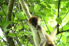 Monkey in the Jungle of Costa Rica - Spider Monkey Goffrey royalty free stock photography