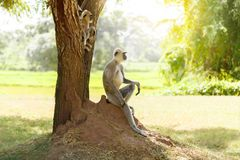 Gray monkey in the jungle sitting under a tree royalty free stock image