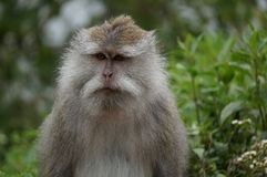 Monkey. In jungle surroundings with interesting facial expression Royalty Free Stock Photography