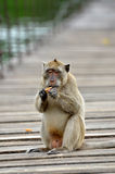 Monkey. The Monkey of Kaeng Krachan some interesting info Royalty Free Stock Photography