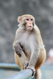 Monkey at Kam Shan Country Park, Kowloon Stock Photo