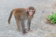 Monkey in Kam Shan Country Park, Kowloon Royalty Free Stock Photos