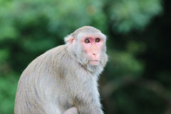 Monkey at Kam Shan Country Park, Kowloon Stock Photography