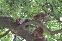 Monkey in Kam Shan Country Park, Kowloon, Hong Kong Stock Image