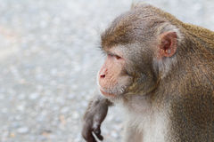Monkey at Kam Shan Country Park, Kowloon Royalty Free Stock Images