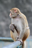 Monkey at Kam Shan Country Park, Kowloon Stock Image