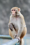 Monkey at Kam Shan Country Park, Kowloon Stock Photography