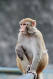 Monkey at Kam Shan Country Park, Kowloon Stock Photos