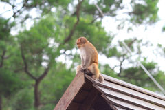 Monkey in Kam Shan Country Park, Kowloon Stock Photos