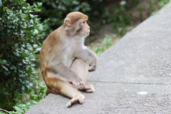 Monkey in Kam Shan Country Park, Kowloon Royalty Free Stock Photography