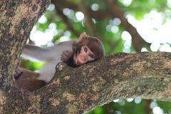 Monkey in Kam Shan Country Park, Kowloon, Hong Kong Royalty Free Stock Photography