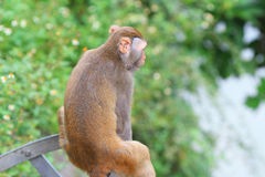 Monkey in Kam Shan Country Park, Kowloon Royalty Free Stock Images