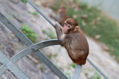 Monkey in Kam Shan Country Park, Kowloon Stock Images