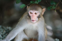 Monkey in Kam Shan Country Park, Kowloon Stock Photography