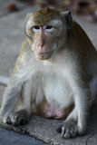 Monkey in Kep, Cambodia Stock Photo
