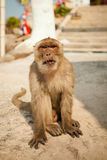 Monkey in Khao Takiab temple Stock Photos