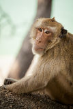Monkey in Khao Takiab temple Royalty Free Stock Photo
