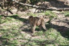 Monkey Khao Yai im Nationalpark, Thailand Stockfotos