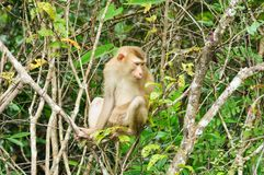 Monkey at Khao Yai National Park, Thailand Royalty Free Stock Image