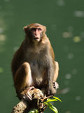 The Monkey King. A monkey is sitting on the tree, staring at visitors Royalty Free Stock Images