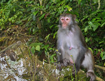 The Monkey King Staring at Visitors. A monkey is sitting in the tree, staring at visitors Royalty Free Stock Photo
