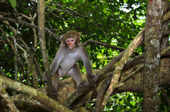 The Monkey King Staring at Visitors. A monkey is standing in the tree, staring at visitors Royalty Free Stock Images