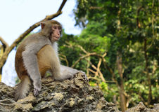 The Monkey King Staring at Visitors. A monkey is sitting in the tree, staring at visitors Stock Photography