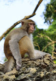 The Monkey King Staring at Visitors. A monkey is sitting in the tree, staring at visitors Royalty Free Stock Images