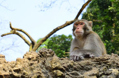 The Monkey King Staring at Visitors Stock Photography