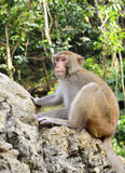 The Monkey King Staring at Visitors. A monkey is sitting on the rocks, staring at visitors Stock Photos