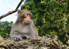 The Monkey King Staring at Visitors. A monkey is climbing on the rock  , staring at visitors Royalty Free Stock Photos