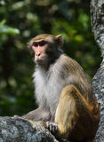 The Monkey King Staring at Visitors. A monkey is sitting in the tree, staring at visitors Stock Photos