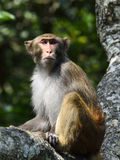 The Monkey King Staring at Visitors. A monkey is sitting in the tree, staring at visitors Royalty Free Stock Photos