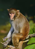 The Monkey King Staring at Visitors Royalty Free Stock Photo