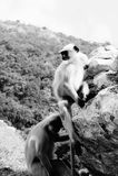 Monkey. At kitchakut mountain, Nalanda, India royalty free stock photography