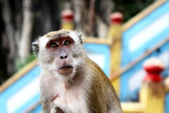 Monkey at KL Malaysia. This monkey was living in `BATU` caves in KL Malaysia royalty free stock images