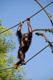 Monkey l'équilibrage sur des cordes Image libre de droits